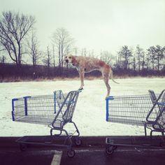 Maddie the Coonhound...LOL