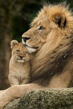Lion with cub baby ❤️ #BigCatFamily