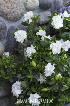 Everblooming Gardenia - Highly prized for the profusion of sweetly fragrant blooms, excellent for cut flowers. Beautiful specimen, its upright branches are covered with glossy foliage. Terrific container plant. Evergreen.