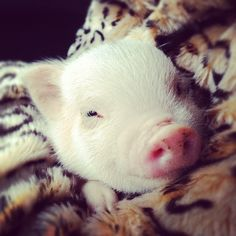 I'd love to have a teacup pig :)