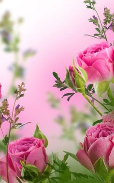 Beautiful Rose Flowers, Love Rose, Flowers Nature, My Flower, Pink Flowers, Beautiful Flowers, Beautiful Scenery, Flower Backgrounds, Flower Wallpaper