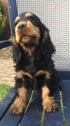 """Discover even more information on """"cocker spaniel"""". Browse through our site. Perro Cocker Spaniel, Black Cocker Spaniel, American Cocker Spaniel, Cute Puppies, Cute Dogs, Dogs And Puppies, Havanese Puppies, Chihuahua Dogs, Doggies"""
