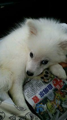 Meet Japanese Spitz Miru, Dog of Edwin: Japanese Spitz, Singapore, Husky, Dogs, Animals, Animales, Animaux, Pet Dogs, Doggies