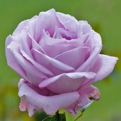 A Lilac Rose for You