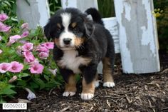 31 Best Bernese Mountain Dog Puppies Images In 2019 Puppies For