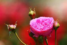 約一年ぶりに訪れました�� 近くにこんな素晴らしい場所があるのに休日は遠出することが多い�� 綺麗な花を見ながら考えさせられる1日となりました。  #バラ  #薔薇  #花  #自然  #お写ん歩  #グリーンパーク  #バラ園  #若松  #北九州  #福岡 #rose  #green_park  #rose_garden  #walking  #flower  #flowers  #flowergarden #flowerstagram  #flowerslovers  #garden  #nature  #photography  #photo  #photooftheday  #naturelovers  #wakamatu  #kitakyusyu  #fukuoka  #japan http://gelinshop.com/ipost/1520356199908140526/?code=BUZY-iblmXu