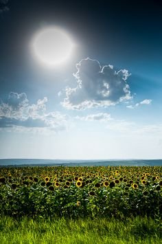 sun flowers field in Romania, by valentin dontov Mother Earth, Mother Nature, Bulgaria, Beautiful World, Beautiful Places, Places To Travel, Places To Visit, Visit Romania, Sunflower Fields