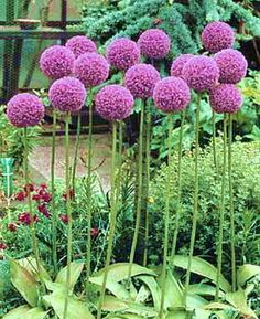 I love alliums in the garden for structure.