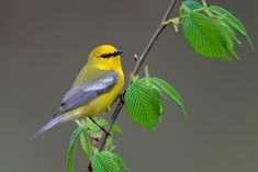 Blue-winged Warbler - Another great looking warbler! I've had the pleasure of viewing this bird only a hand full if times.
