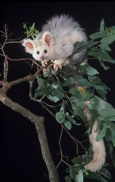 Greater Glider (light colour phase), Petauroides volans, is a small gliding marsupial found in Australia.