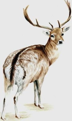 Coloured pencil deer