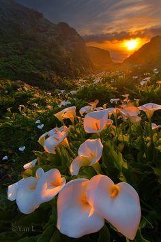 Sunset Lilies, Big Sur, California    Tan Hermoso es ver el a Tardecer y ver como cae los rayos del sol en la naturaleza