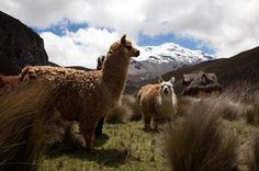 The United Nations recognizes the importance of statistics, but camelids come out ahead.