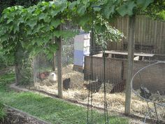 Ochre Archives:  Bees kept in the chicken run. In this photo you can see one of the hives presently set-up in the chook-pen in the backyard. Apparently chooks and bees are a great natural fit as the chickens take no notice of the bees but help with pest control.