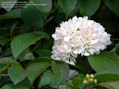 View picture of Doublefile Viburnum, Japanese Snowball Bush 'Kern's Pink' (Viburnum plicatum var. tomentosum) at Dave's Garden. All pictures are contributed by our community.