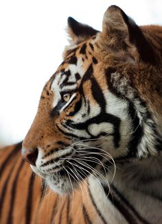LOVE TIGERS. Favorite wild animal