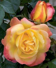 Hybrid Tea Rose: Rosa 'Love and Peace' AKA 'Pullman Orient Express' (U.S., 1991)