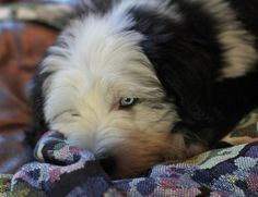 Bode the Old English Sheepdog   Puppies   Daily Puppy