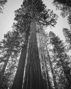 Standing Tall  This Redwood (or is it a Sequoia?) has withstood the test of time. It's tall stature supporting the long (2-3k years) life. The rich colored cinnamon texture tree barks make for an interesting cladding. Walking through the trees you are left with a sense of wonderment about their staying power. . . . #redwoods #seqouia #perspective #tall # stature #survival #lessonslearnt #yosemite #stayingpower #picoftheday #pictureoftheday