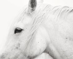 Black and White Horses - Apples and Oats Photography