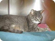 Pictures of Buckie a Domestic Shorthair for adoption in Keswick, ON who needs a loving home.