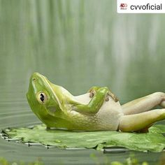 Cute and funny frog pictures free. All pictures in high quality. These funny frogs will bring smile on your face. Animals And Pets, Baby Animals, Funny Animals, Cute Animals, Wild Animals, Funny Pets, Funny Humor, Cats Humor, Green Animals