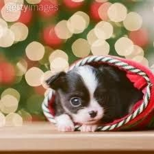 77 Best Pet wallpapers for Christmas images