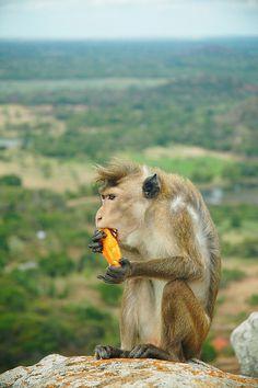Mango crunching Monkey- Sri Lanka    Mihintale, Sri Lanka