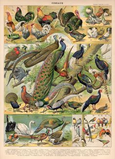 Antique lithograph published by Larousse in France in 1897, beautifully detailed, depicting 111 examples of BIRDS: pheasant, peacock, chicken, swan, toucan, flamingo, ostrich and many others. Condition: Very good; Printed on the reverse ( see images 2 and 4). Type: