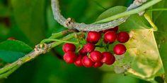 Giloy | Tinospora cordifolia herb and herbal remedies | Ayurveda online consultation | Ayurvedayogashram