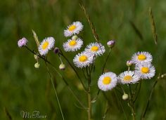Wildflower - Erigeron - Explore June 27 2012