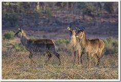 Waterbuck - Chewore, Zambezi River, Zimbabwe