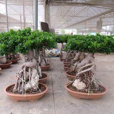 ,LTD-Microcarpa,Ficus Microcarpa,-Microcarpa,Ficus Microcarpa Bonsai Ficus, Jade Bonsai, Bonsai Art, Bonsai Garden, Bonsai Trees, Trees To Plant, Ficus Microcarpa, Bonsai Tree Care, Jade Plants