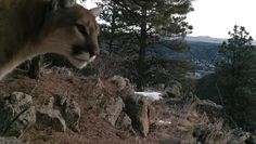 """The video you're about to see was captured on a Browning Recon Force FHD trail cam by Jason Craig. According to comments Jason made on Vimeo, he captured this video in northern Colorado. """"I am amazed at the actual population around as they are so rarely seen,"""" he wrote. """"It was close to the Wyoming …"""