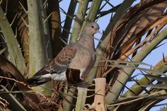 Oriental Turtle Dove (meena) Mourning Dove, Turtle Dove, Parrot, Oriental, Wings, Bird, Parrot Bird, Birds, Feathers