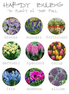 Pictured above are 9 hardy bulbs you can plant in the fall for spring show. Most of theses are hardy from zones 4 and up.  Tips on Planting