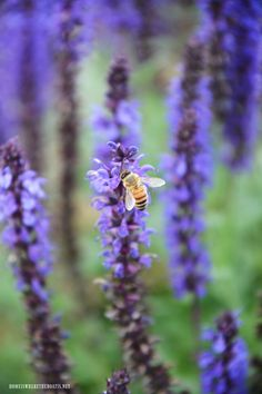 Salvia and bee | ©homeiswheretheboatis.net #garden #spring #sheshed