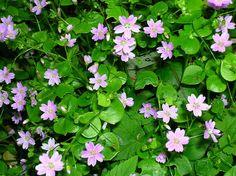 Claytonia sibirica Eglinton - Claytonia sibirica - Wikipedia, the free encyclopedia