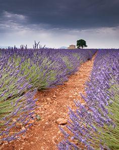 https://flic.kr/p/czzJff | Lavender in the Wind |
