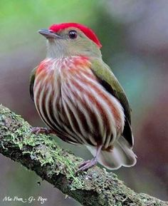 Striped manakin Bird