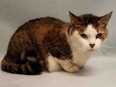 CHLOE - A1092857 - - Manhattan  ***TO BE DESTROYED 10/20/16***PRETTY CHLOE is a BEGINNER KITTY WITH LOTS OF LOVE TO GIVE! This sweet brown and white tabby declawed female has a sad story to tell. Her owner passed away and CHLOE has been living in an empty apartment for 6 months. A friend fed charming CHLOE for 6 months, and brought the gorgeous 5 year old girl to the shelter, where tomorrow she will be killed if she's not rescued. CHLOE besides having the cutest li'l fa