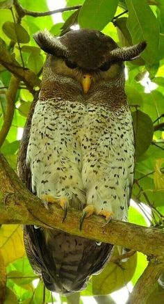 ^Barred Eagle Owl (Bubo sumatranus) found in Indonesia, Malaysia and Thailand Beautiful Owl, Animals Beautiful, Cute Animals, Exotic Birds, Colorful Birds, Exotic Pets, Pretty Birds, Love Birds, Owl Pictures