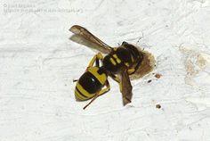 Nombre científico: Ancistrocerus gazella (Panzer 1798), Vespidae / Eumeninae. Descripción: Avispa alfarera. Atiende a su nido en la pared de un porche, donde deposita hasta 20 orugas para que sirvan de alimento a sus larvas . Abdomen más corto pero parecido tamaño a una vespula común, Provincia: Jaén, País: España, Fecha: 15/07/2010, Autor/a: José Biedma López.