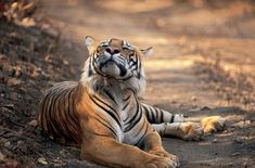#BigCatFamily Tiger