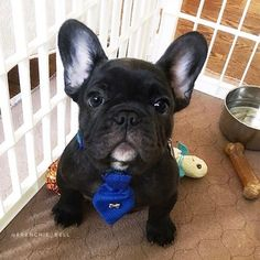 Roque, French Bulldog Puppy -- Oh My Gosh!! He has on a tie!!! How Cute is that!!!