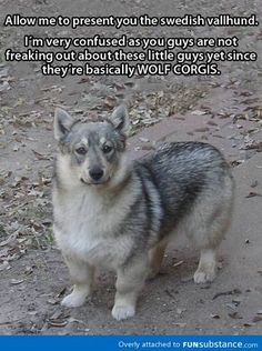 "Swedish Vallhund- ""wolf corgi"""