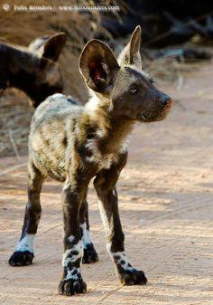 Wild dog baby