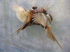 http://showpiecetaxidermy.com/photos/south-dakota-pheasant-taxidermist-mounts/
