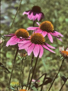 I love purple coneflowers.  They are native prairie wildflowers and they are great in areas with standing water.