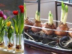 Цветник на подоконнике! Выращиваю тюльпаны дома, ведь знаю секрет…
